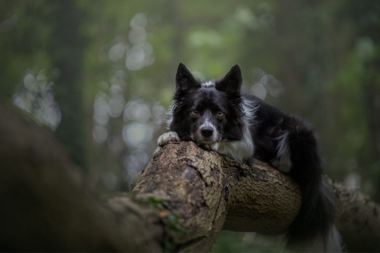 collie dog photographed on a log Manchester