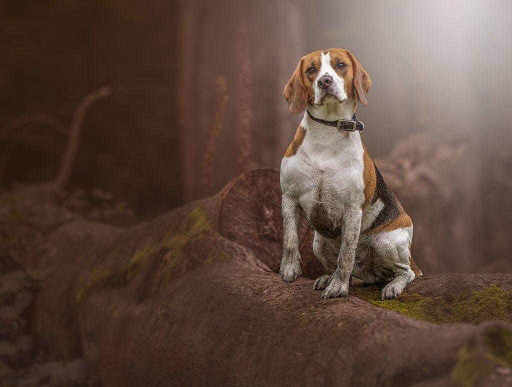 Cooper the Beagle- Dog Portrait - Steve Lowrey