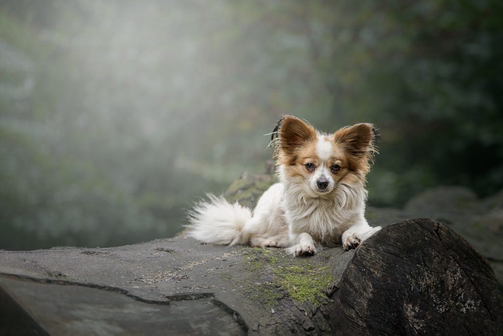 Pet dog portrait Manchester